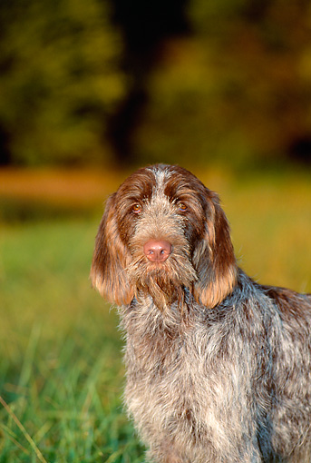 DOG 06 CE0045 01 © Kimball Stock Shoulder Shot Of Spinone Italiano Standing On Grass By Trees