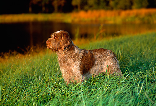 DOG 06 CE0046 01 © Kimball Stock Spinone Italiano Standing In Tall Grass By Pond Trees