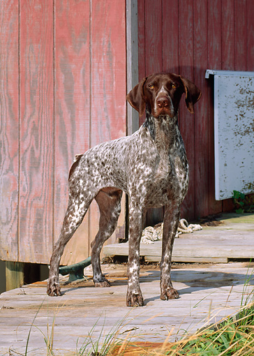 DOG 06 CE0048 01 © Kimball Stock German Shorthaired Pointer Standing On Dock By Boathouse