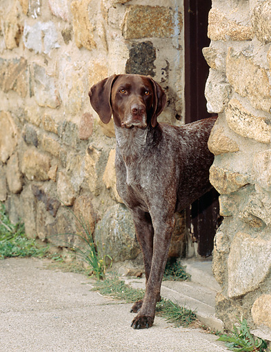 DOG 06 CE0049 01 © Kimball Stock German Shorthaired Pointer Standing In Doorway Of Stone Building