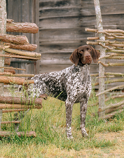 DOG 06 CE0050 01 © Kimball Stock German Shorthaired Pointer Standing At Fence Gateway By Building