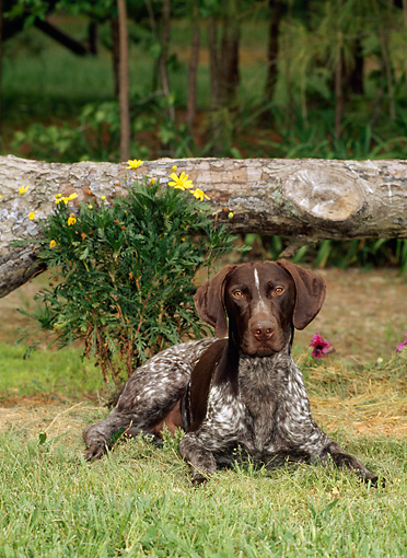 DOG 06 CE0051 01 © Kimball Stock German Shorthaired Pointer Laying On Grass By Flowers Under Fallen Log