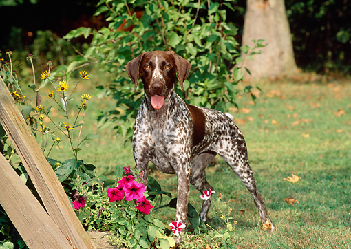 DOG 06 CE0052 01 © Kimball Stock German Shorthaired Pointer Standing On Grass By Fence And Flowers