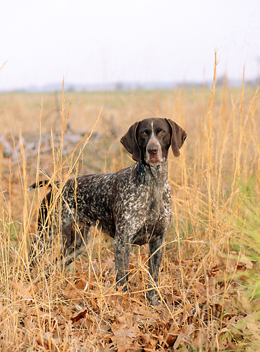 DOG 06 CE0053 01 © Kimball Stock German Shorthaired Pointer Standing In Field Of Tall Grass Autumn