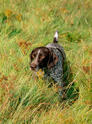 DOG 06 CE0054 01 © Kimball Stock German Shorthaired Pointer Standing In Field Of Tall Grass Autumn