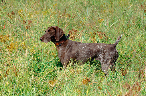 DOG 06 CE0055 01 © Kimball Stock German Shorthaired Pointer Standing In Field Of Tall Grass Autumn