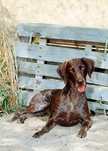DOG 06 CE0056 01 © Kimball Stock German Shorthaired Pointer Laying On Beach By Crate