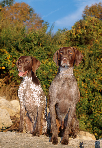 DOG 06 CE0058 01 © Kimball Stock Female And Male German Shorthaired Pointers Sitting On Boulder By Trees