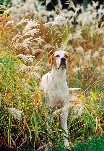 DOG 06 CE0060 01 © Kimball Stock English Pointer Standing In Field Of Tall Grasses