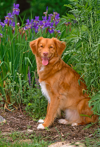 DOG 06 CE0062 01 © Kimball Stock Nova Scotia Duck Tolling Retriever Sitting By Shrubs And Flowers