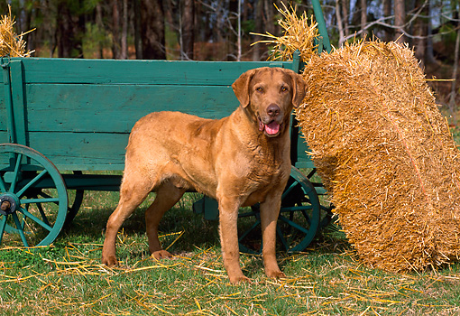 DOG 06 CE0063 01 © Kimball Stock Chesapeake Bay Retriever Standing On Grass By Green Cart Straw Bale Barn