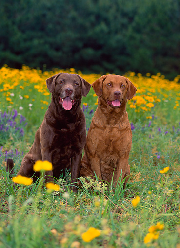 DOG 06 CE0064 01 © Kimball Stock Two Chesapeake Bay Retrievers Sitting In Field Of Yellow Wildflowers