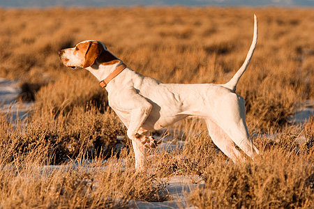 DOG 06 DB0003 01 © Kimball Stock Profile Shot Of English Pointer Standing Pointing