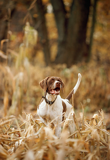 DOG 06 DB0007 01 © Kimball Stock English Pointer On Point In Field In Autumn