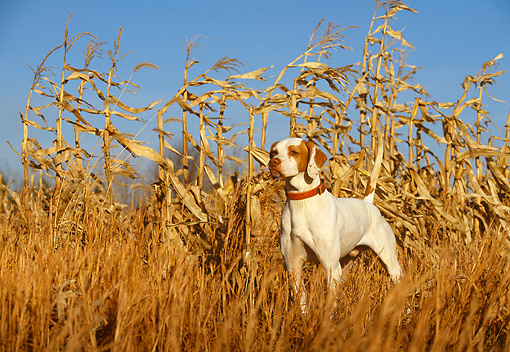 DOG 06 DB0008 01 © Kimball Stock English Pointer On Point In Corn Field In Autumn