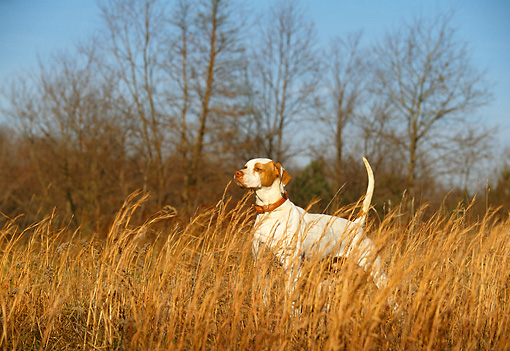 DOG 06 DB0009 01 © Kimball Stock English Pointer On Point In Field In Autumn