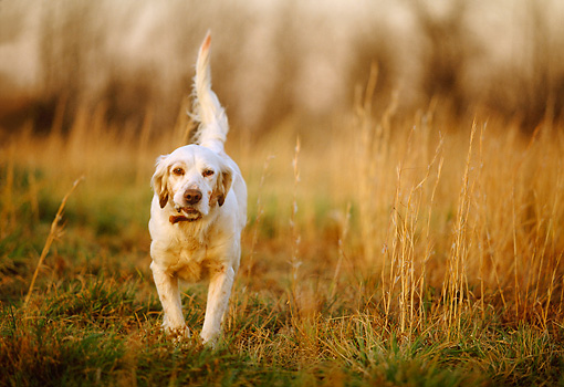DOG 06 DB0010 01 © Kimball Stock Head On Shot Of English Setter On Point In Field In Autumn