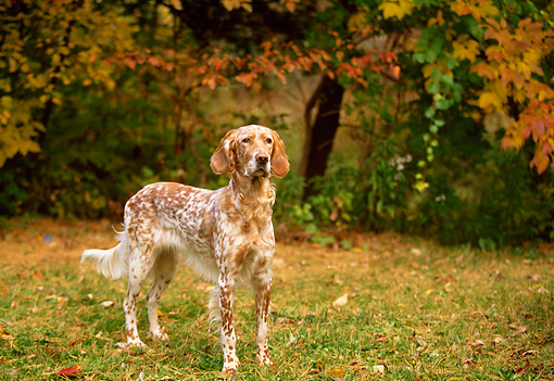 DOG 06 DB0012 01 © Kimball Stock Portrait Of English Setter Standing On Grass Before Trees Autumn