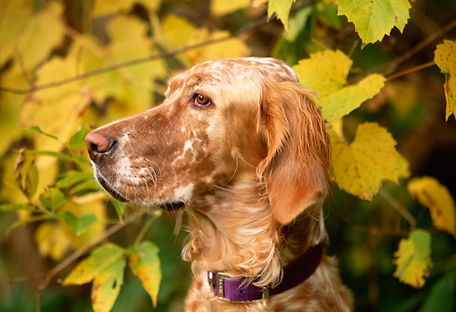 DOG 06 DB0013 01 © Kimball Stock Portrait Profile Head Shot Of English Setter With Autumn Leaves