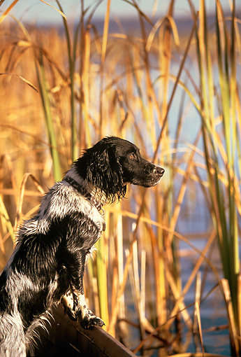 DOG 06 DB0016 01 © Kimball Stock Profile Of English Springer Spaniel In Blind With Cattails