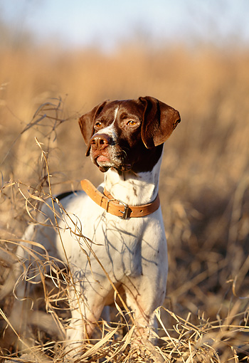 DOG 06 DB0017 01 © Kimball Stock Portrait Of German Shorthaired Pointer On Point In Autumn