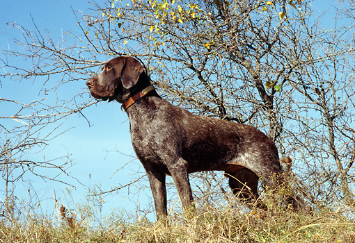 DOG 06 DC0025 01 © Kimball Stock German Shorthaired Pointer Standing On Grass Hill By Tree Blue Sky