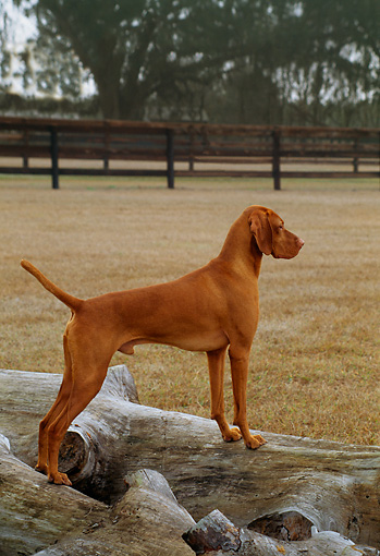DOG 06 DC0030 01 © Kimball Stock Portrait Of Vizsla Standing On Log By Tree At Ranch