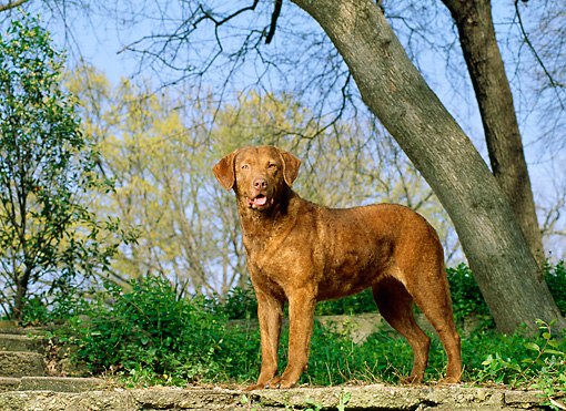 DOG 06 DC0046 02 © Kimball Stock Portrait Of Chesapeake Bay Retriever Standing By Trees