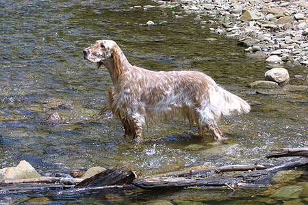 DOG 06 DC0049 01 © Kimball Stock Portrait Profile Shot Of English Setter Standing In Creek