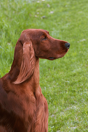 DOG 06 DC0050 01 © Kimball Stock Portrait Head Shot Of Irish Setter On Grass
