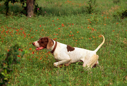 DOG 06 DC0056 01 © Kimball Stock Profile Of Pointer On Point In Field