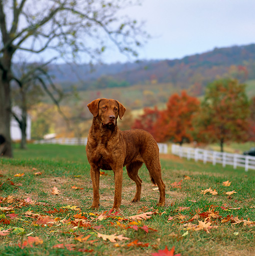 DOG 06 DC0067 01 © Kimball Stock Portrait Of Chesapeake Bay Retriever On Grass