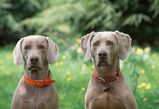 DOG 06 DS0001 01 © Kimball Stock Close-Up Of Two Weimaraners Sitting In Field