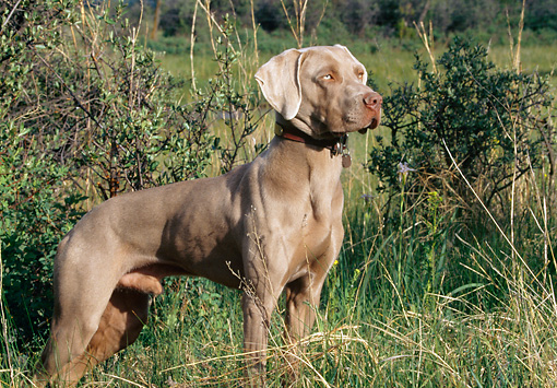 DOG 06 DS0002 01 © Kimball Stock Weimaraner Standing In Field