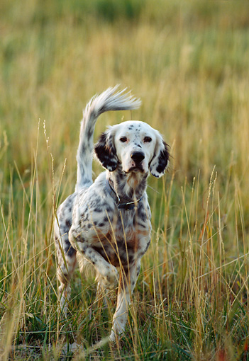DOG 06 DS0003 01 © Kimball Stock English Setter Standing In Field On Point
