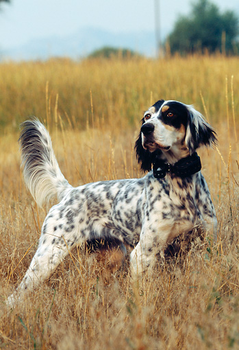 DOG 06 DS0004 01 © Kimball Stock English Setter Standing In Field On Point