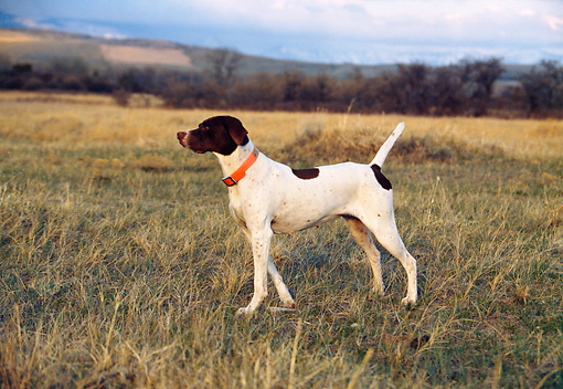 DOG 06 DS0006 01 © Kimball Stock English Pointer Standing On Point In Field