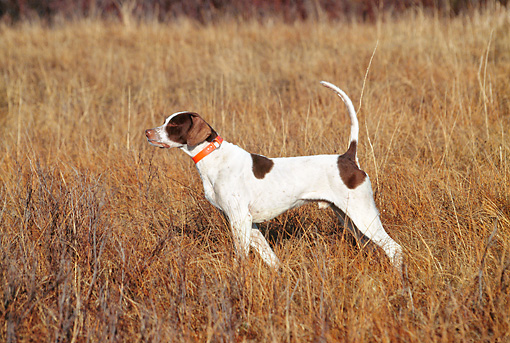 DOG 06 DS0007 01 © Kimball Stock English Pointer Standing On Point In Field