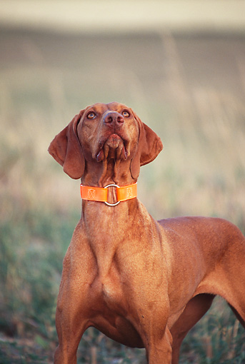 DOG 06 DS0009 01 © Kimball Stock Vizsla Standing In Field