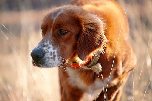 DOG 06 DS0011 01 © Kimball Stock Close-Up Of Irish Setter Standing In Field