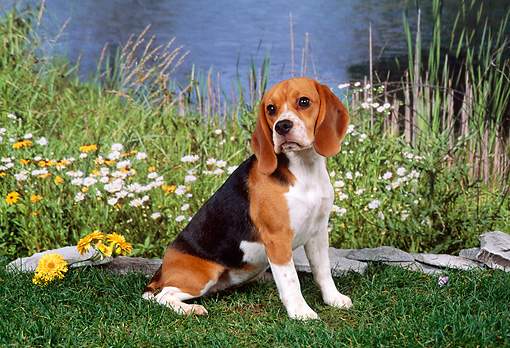 DOG 06 FA0006 01 © Kimball Stock Beagle Sitting On Grass By Flowers And Pond