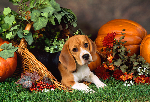 DOG 06 FA0010 01 © Kimball Stock Beagle Laying In Basket On Grass By Pumpkins