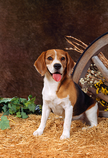 DOG 06 FA0011 01 © Kimball Stock Beagle Sitting On Hay By Wagon Wheel