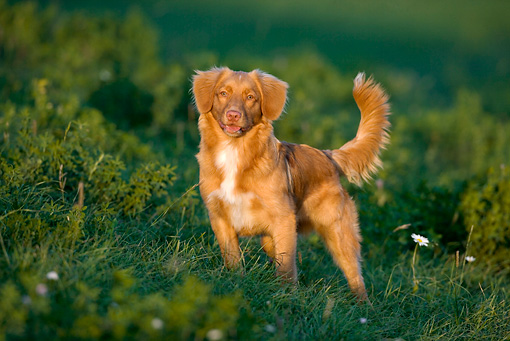 DOG 06 KH0006 01 © Kimball Stock Nova Scotia Duck Tolling Retriever Standing In Field