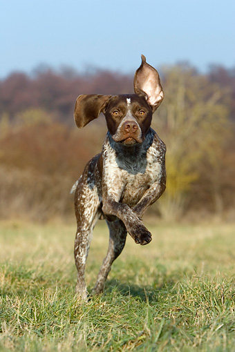 DOG 06 KH0008 01 © Kimball Stock French Pointer Running In Field