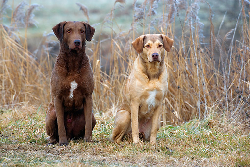DOG 06 KH0013 01 © Kimball Stock Two Chesapeake Bay Retrievers Sitting In Field By Brush