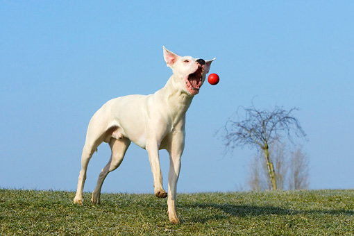 DOG 06 KH0017 01 © Kimball Stock Dogo Argentino Catching Ball In Field