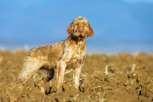 DOG 06 KH0020 01 © Kimball Stock Wirehaired Vizsla Standing In Field