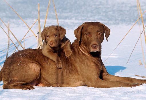 DOG 06 LS0001 01 © Kimball Stock Chesapeake Bay Retriever Mother And Puppy Laying On Snow