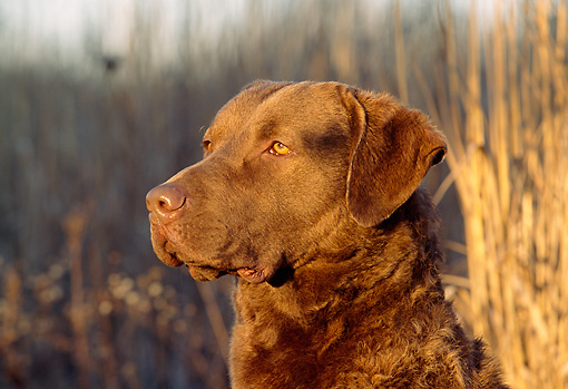 DOG 06 LS0002 01 © Kimball Stock Head Shot Of Chesapeake Bay Retriever Sitting In Marsh